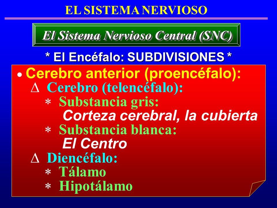 El Sistema Nervioso Central (SNC) * El Encéfalo: SUBDIVISIONES *