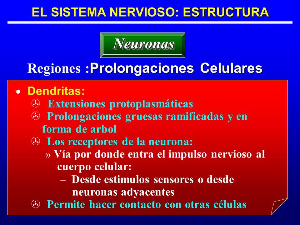 EL SISTEMA NERVIOSO: ESTRUCTURA Regiones :Prolongaciones Celulares