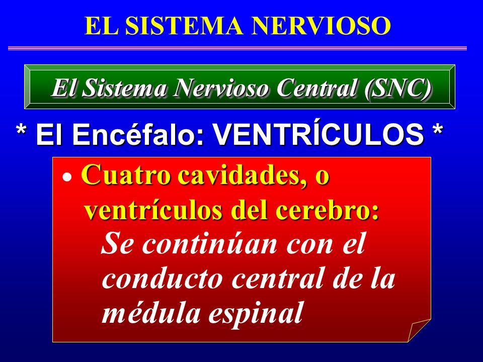 El Sistema Nervioso Central (SNC) * El Encéfalo: VENTRÍCULOS *