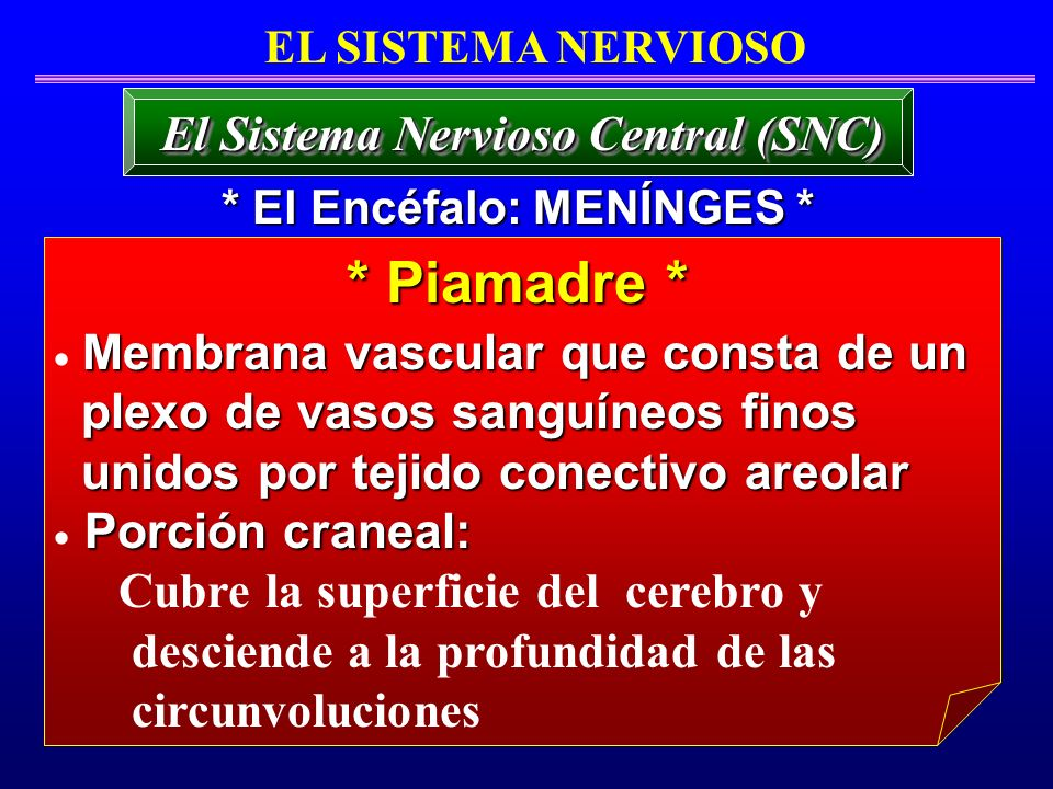 El Sistema Nervioso Central (SNC) * El Encéfalo: MENÍNGES *
