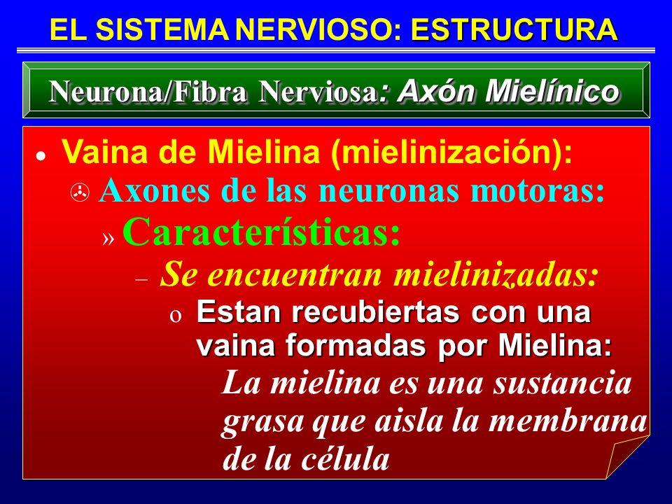 EL SISTEMA NERVIOSO: ESTRUCTURA Neurona/Fibra Nerviosa: Axón Mielínico