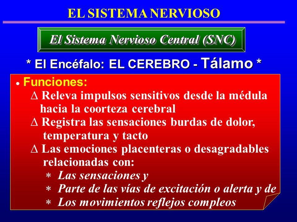 El Sistema Nervioso Central (SNC) * El Encéfalo: EL CEREBRO - Tálamo *
