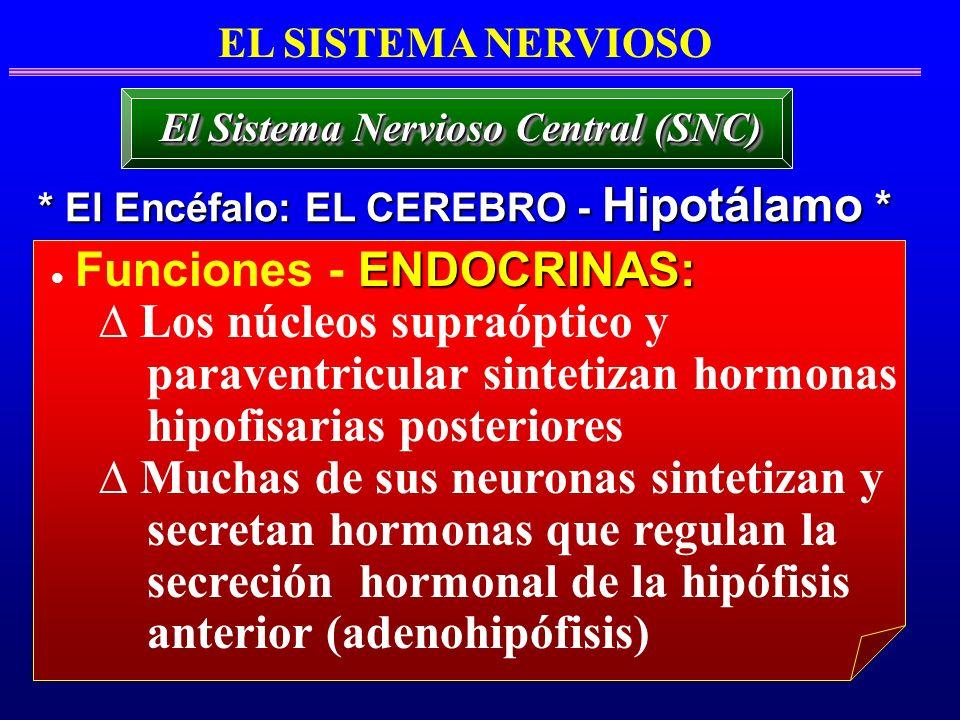 Los núcleos supraóptico y paraventricular sintetizan hormonas