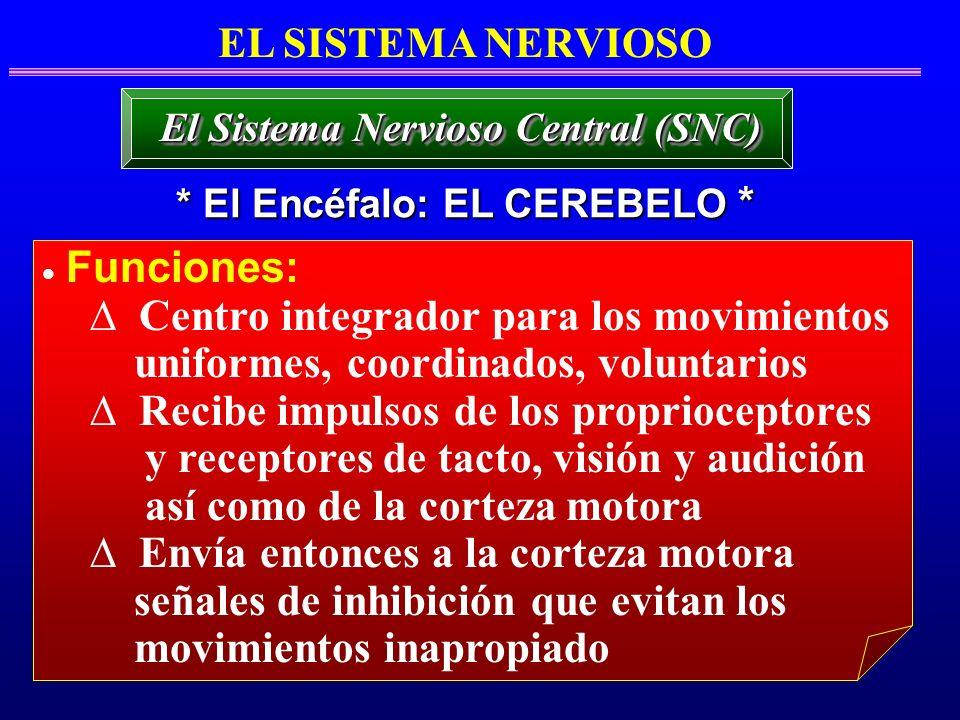 El Sistema Nervioso Central (SNC) * El Encéfalo: EL CEREBELO *