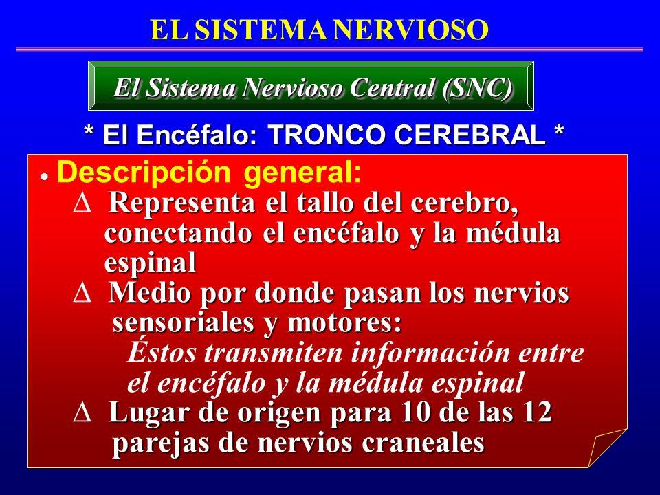 El Sistema Nervioso Central (SNC) * El Encéfalo: TRONCO CEREBRAL *