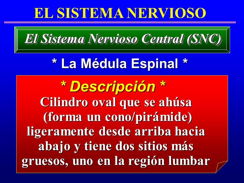 El Sistema Nervioso Central (SNC) Cilindro oval que se ahúsa