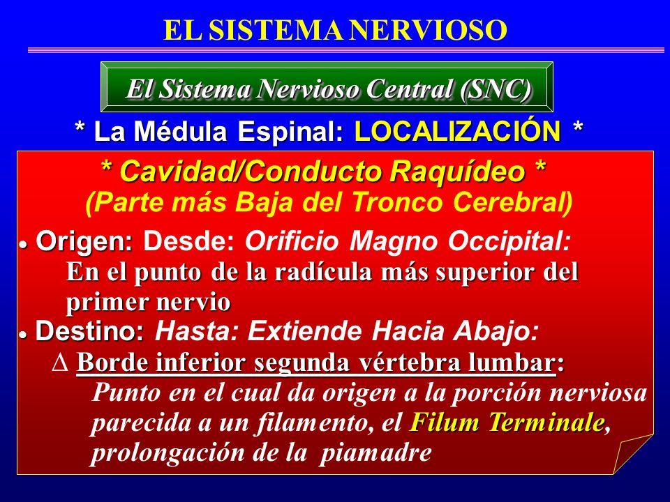* Cavidad/Conducto Raquídeo *