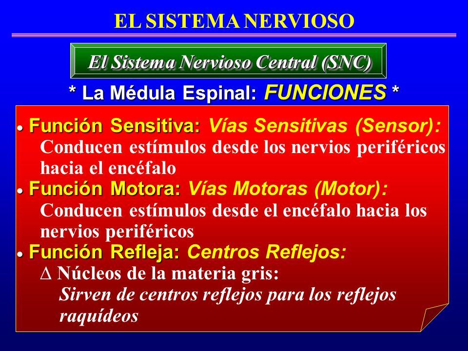 El Sistema Nervioso Central (SNC) * La Médula Espinal: FUNCIONES *