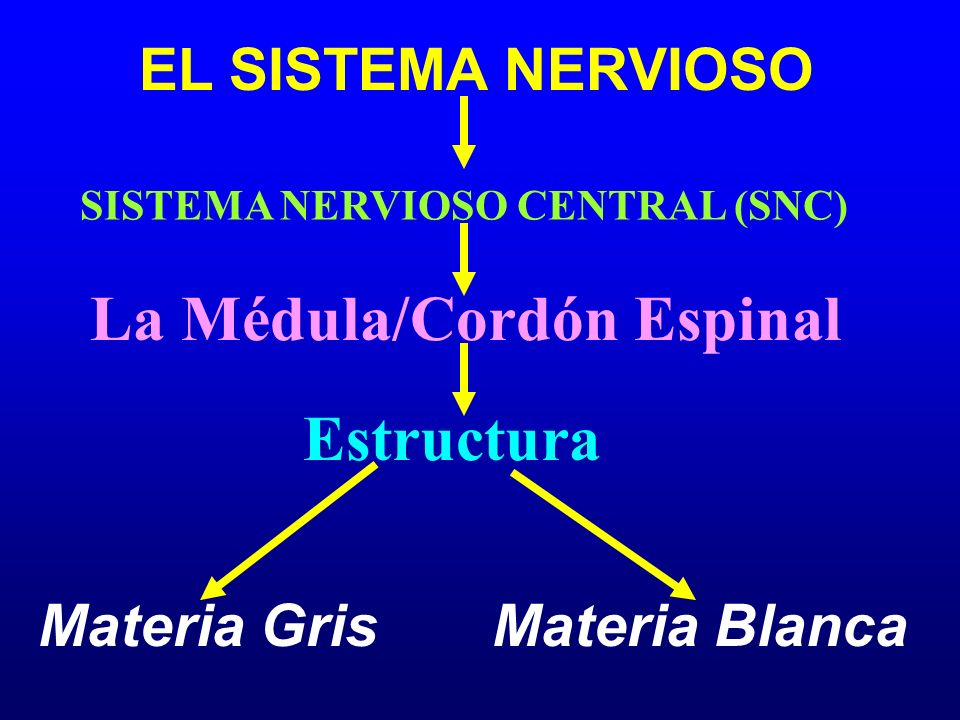 SISTEMA NERVIOSO CENTRAL (SNC) La Médula/Cordón Espinal