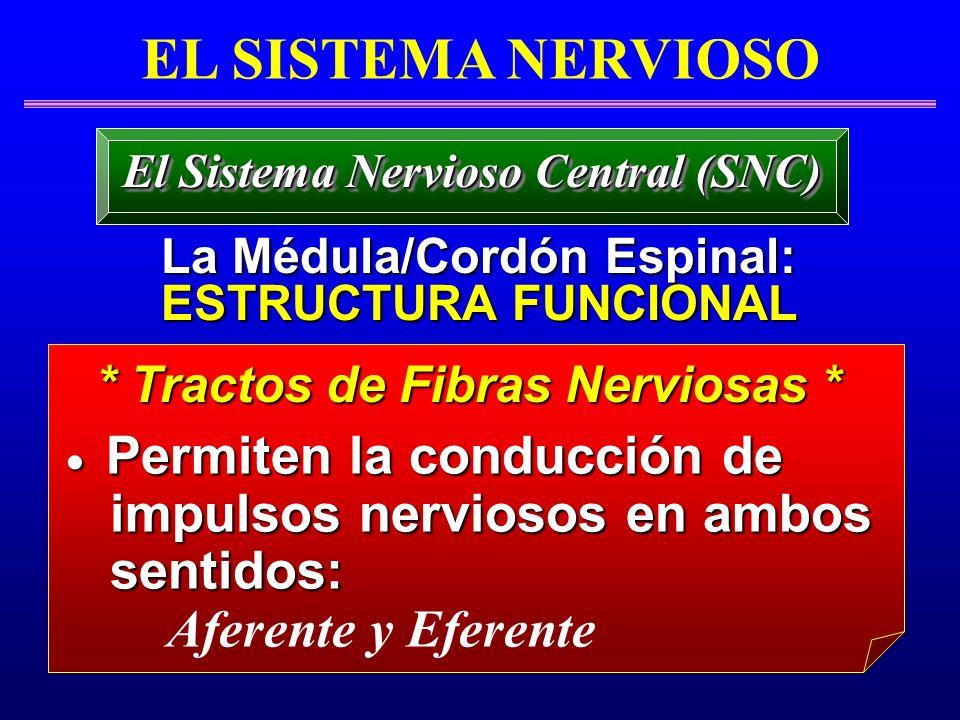 EL SISTEMA NERVIOSO impulsos nerviosos en ambos sentidos: