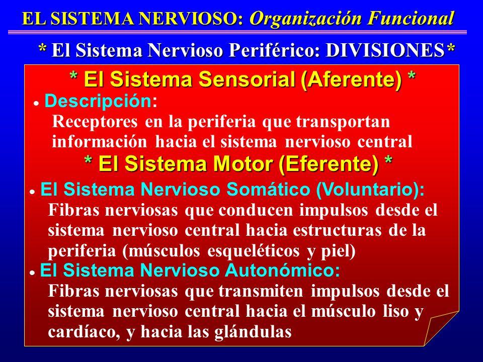* El Sistema Sensorial (Aferente) * * El Sistema Motor (Eferente) *
