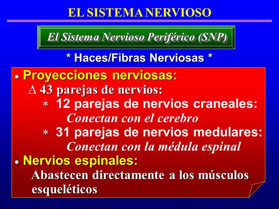 El Sistema Nervioso Periférico (SNP) * Haces/Fibras Nerviosas *