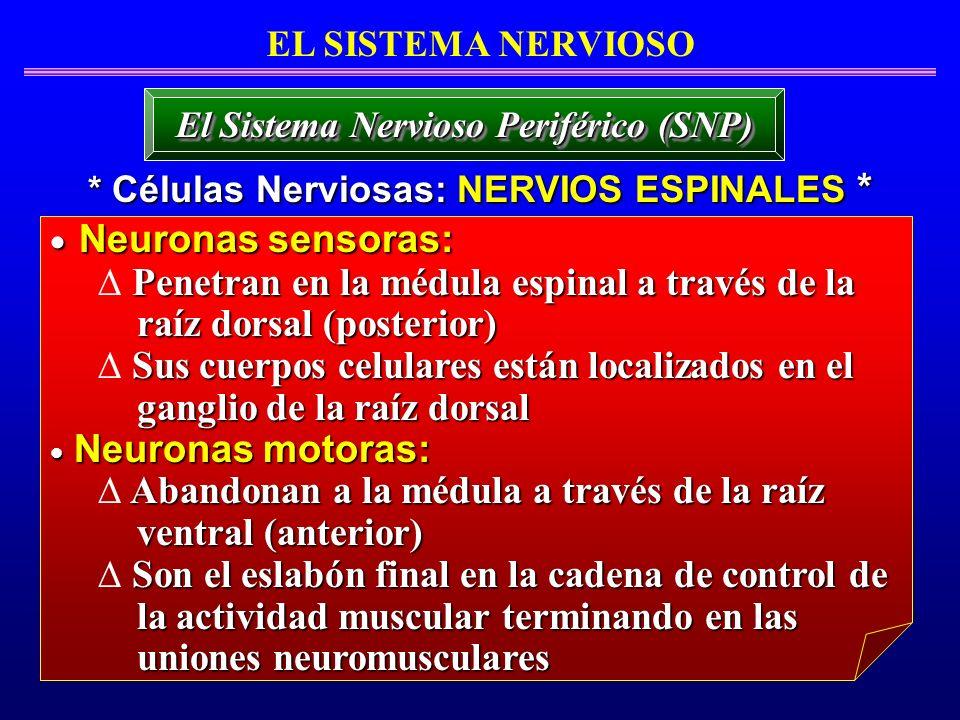 Neuronas sensoras: Penetran en la médula espinal a través de la