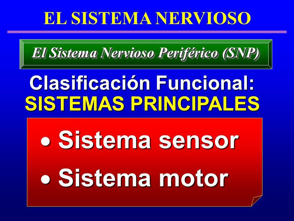 El Sistema Nervioso Periférico (SNP) Clasificación Funcional: