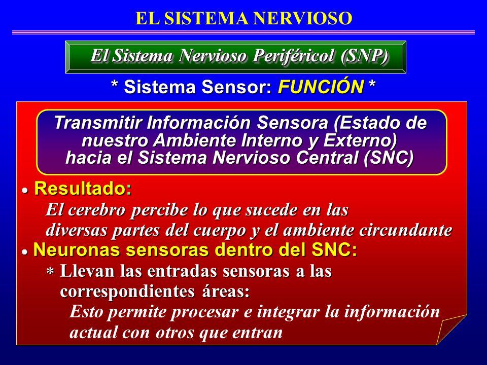 Resultado: EL SISTEMA NERVIOSO El Sistema Nervioso Periféricol (SNP)