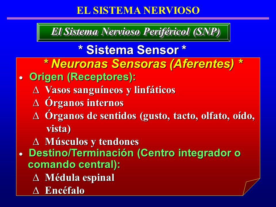 * Sistema Sensor * * Neuronas Sensoras (Aferentes) *