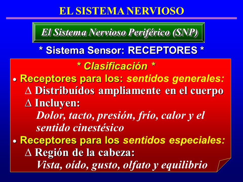 El Sistema Nervioso Periférico (SNP) * Sistema Sensor: RECEPTORES *