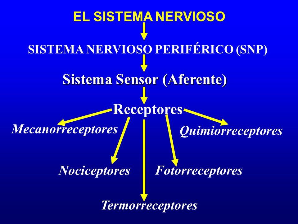 SISTEMA NERVIOSO PERIFÉRICO (SNP) Sistema Sensor (Aferente)