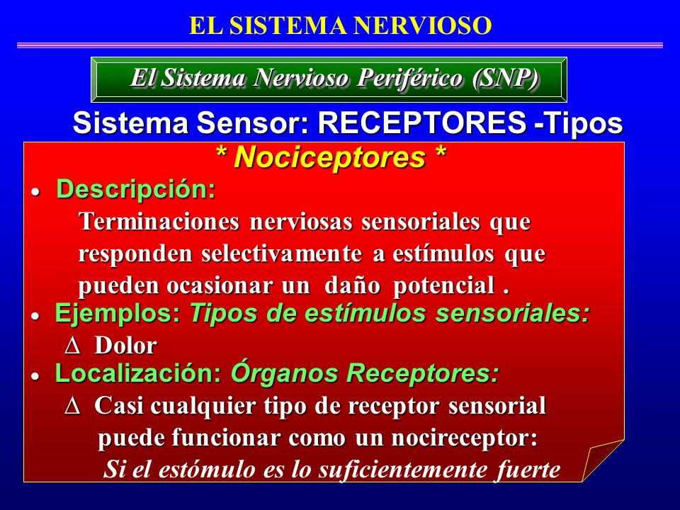 El Sistema Nervioso Periférico (SNP) Sistema Sensor: RECEPTORES -Tipos