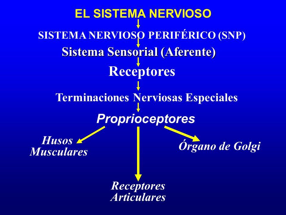 Receptores Sistema Sensorial (Aferente) Proprioceptores