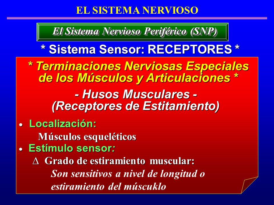 * Sistema Sensor: RECEPTORES * * Terminaciones Nerviosas Especiales