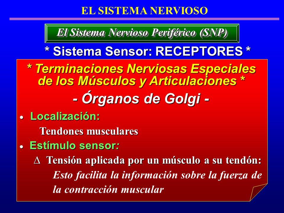 - Órganos de Golgi - * Sistema Sensor: RECEPTORES *