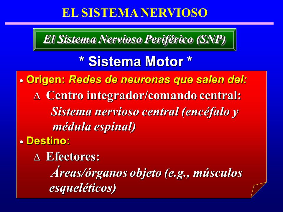El Sistema Nervioso Periférico (SNP)