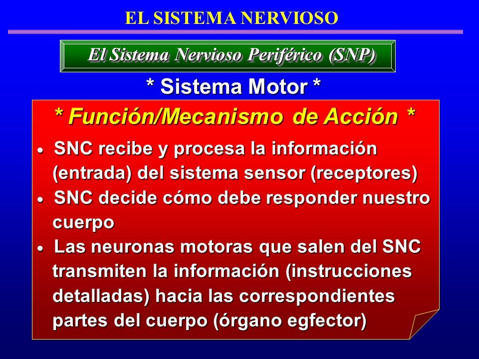 El Sistema Nervioso Periférico (SNP) * Función/Mecanismo de Acción *