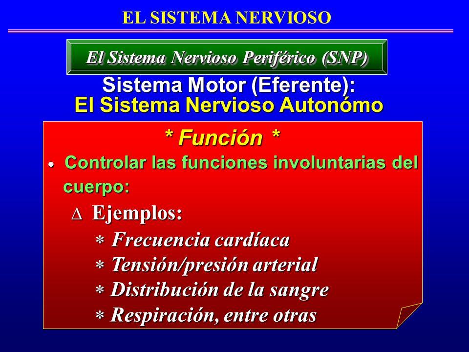 * Función * Sistema Motor (Eferente): El Sistema Nervioso Autonómo