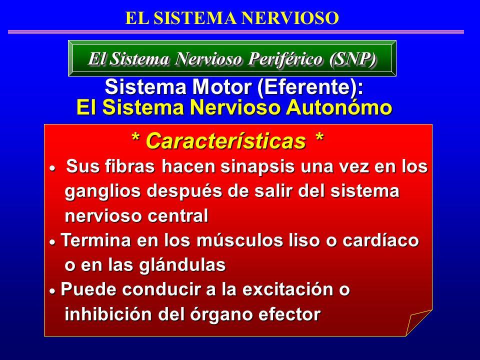 * Características * Sistema Motor (Eferente):