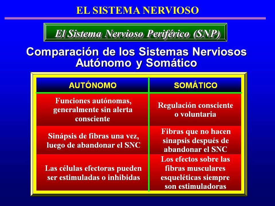 Comparación de los Sistemas Nerviosos Autónomo y Somático