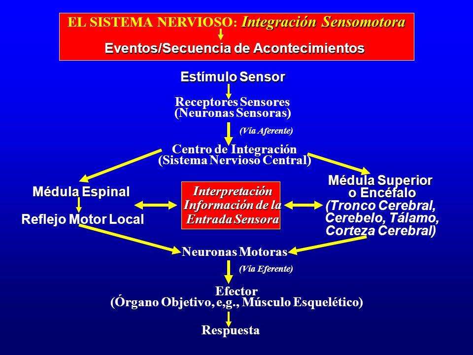 EL SISTEMA NERVIOSO: Integración Sensomotora