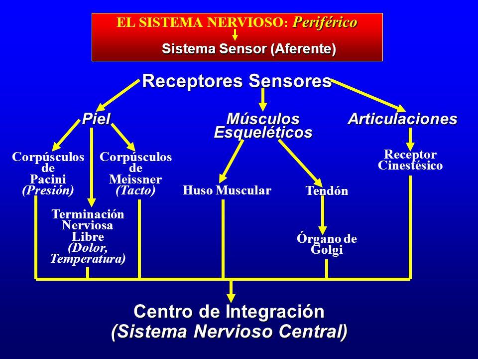 Receptores Sensores Centro de Integración (Sistema Nervioso Central)