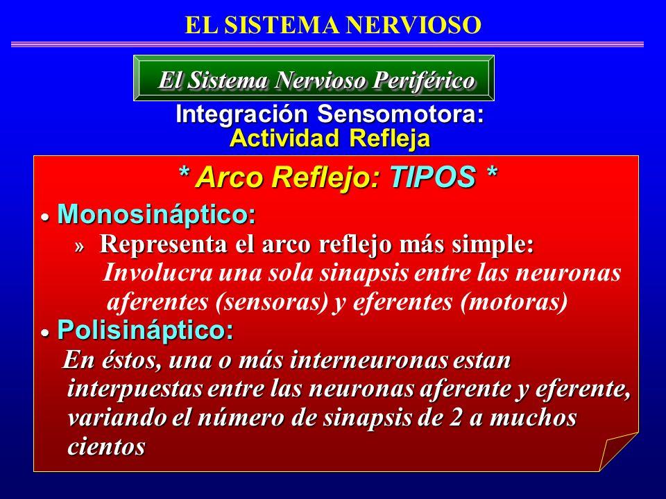 El Sistema Nervioso Periférico Integración Sensomotora: