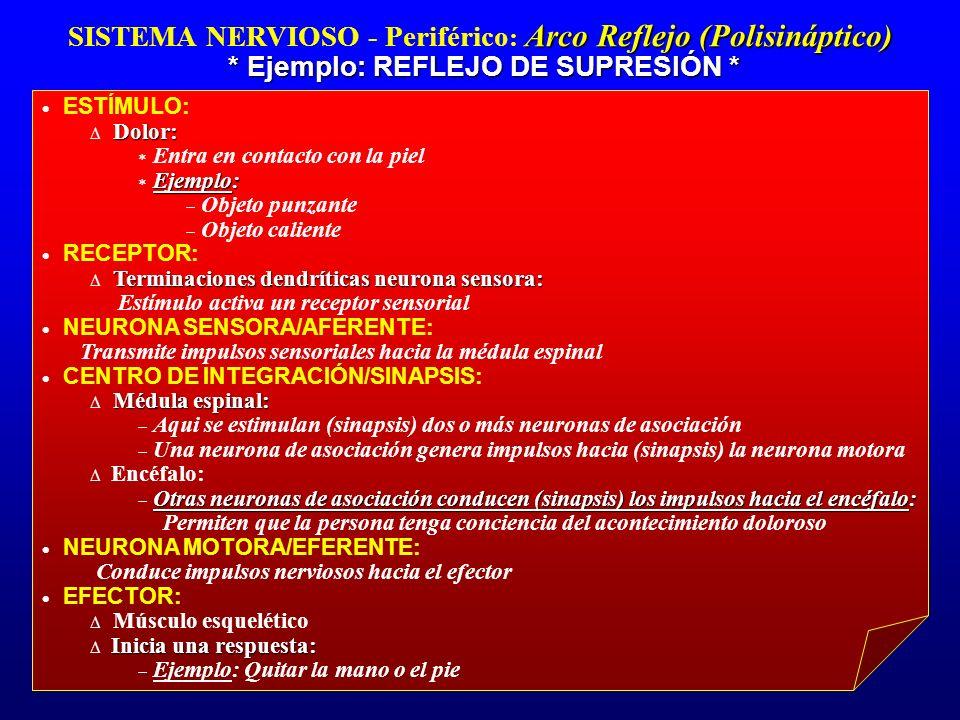 SISTEMA NERVIOSO - Periférico: Arco Reflejo (Polisináptico)