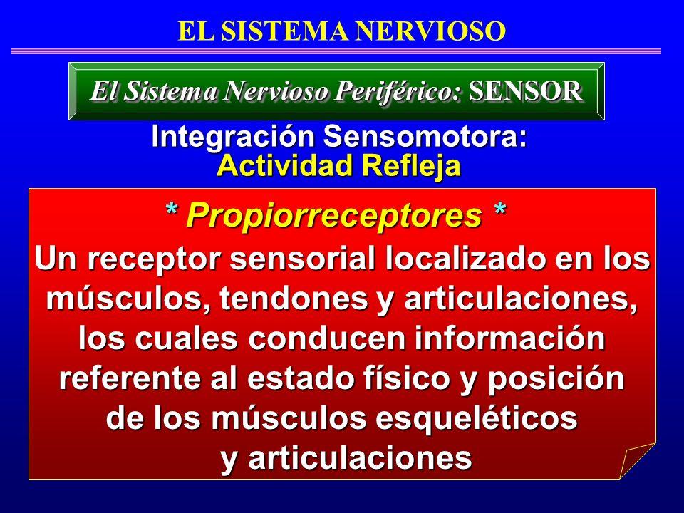 EL SISTEMA NERVIOSO El Sistema Nervioso Periférico: SENSOR. Integración Sensomotora: Actividad Refleja.