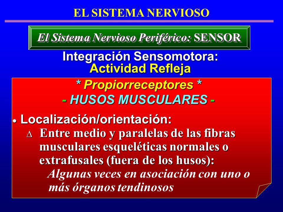 El Sistema Nervioso Periférico: SENSOR Integración Sensomotora: