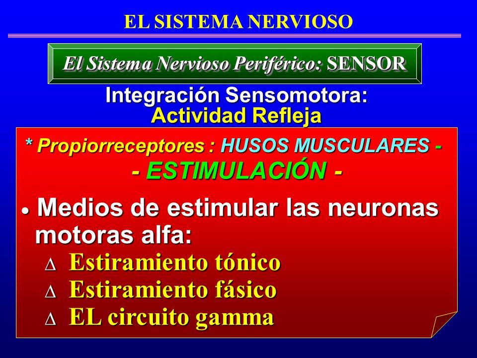 Medios de estimular las neuronas motoras alfa: Estiramiento tónico