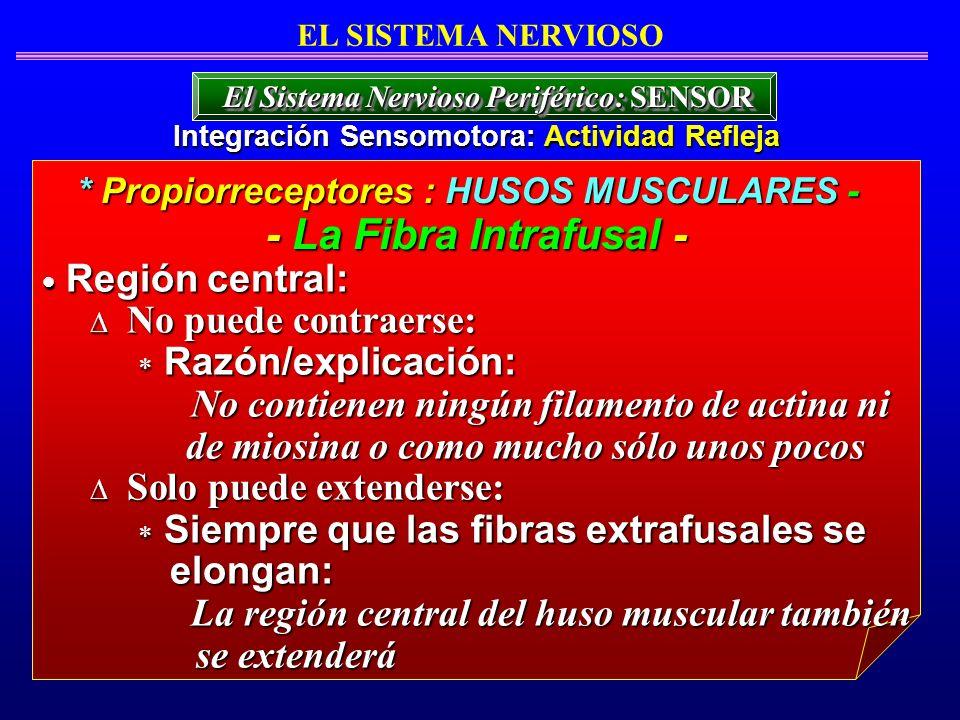 - La Fibra Intrafusal - Región central: No puede contraerse: