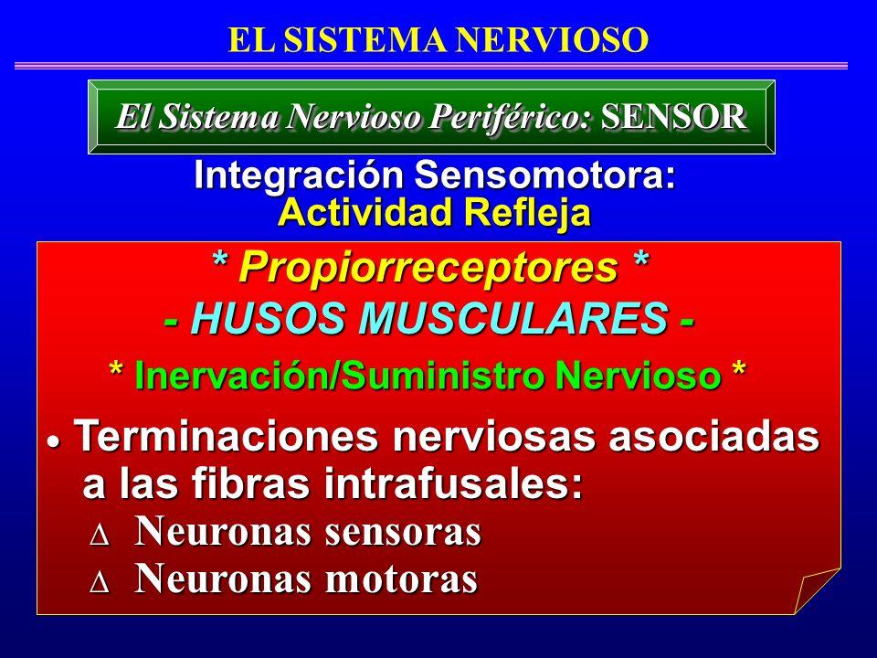 * Propiorreceptores * - HUSOS MUSCULARES -
