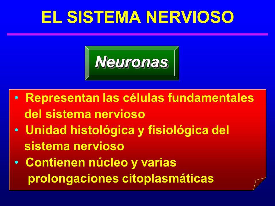 Neuronas EL SISTEMA NERVIOSO Representan las células fundamentales