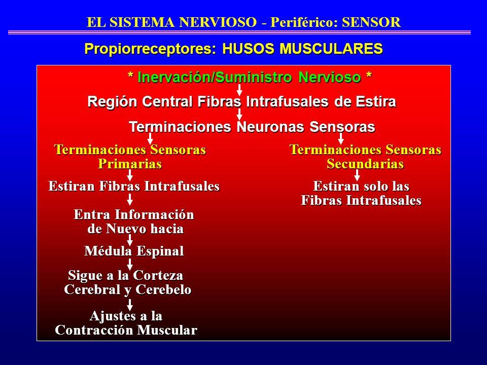 EL SISTEMA NERVIOSO - Periférico: SENSOR