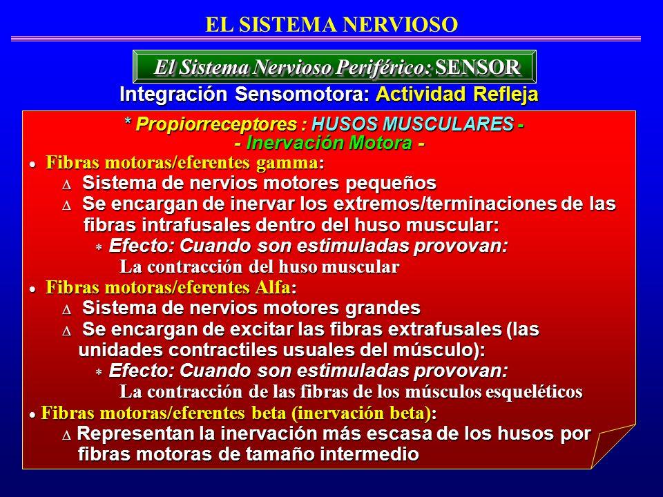 EL SISTEMA NERVIOSO El Sistema Nervioso Periférico: SENSOR