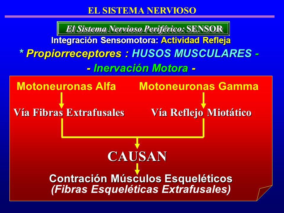 CAUSAN * Propiorreceptores : HUSOS MUSCULARES - - Inervación Motora -