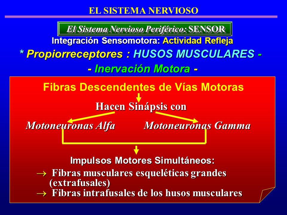 * Propiorreceptores : HUSOS MUSCULARES - - Inervación Motora -