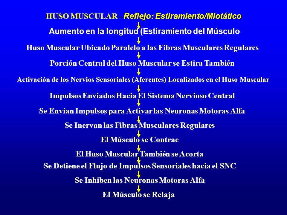 HUSO MUSCULAR - Reflejo: Estiramiento/Miotático