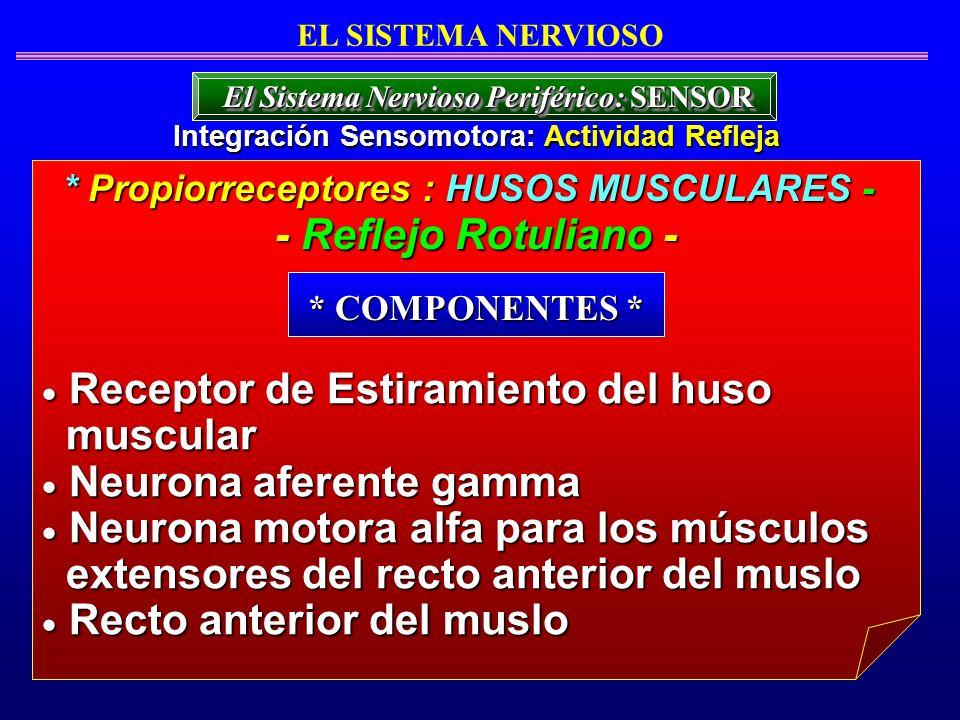 Receptor de Estiramiento del huso muscular Neurona aferente gamma