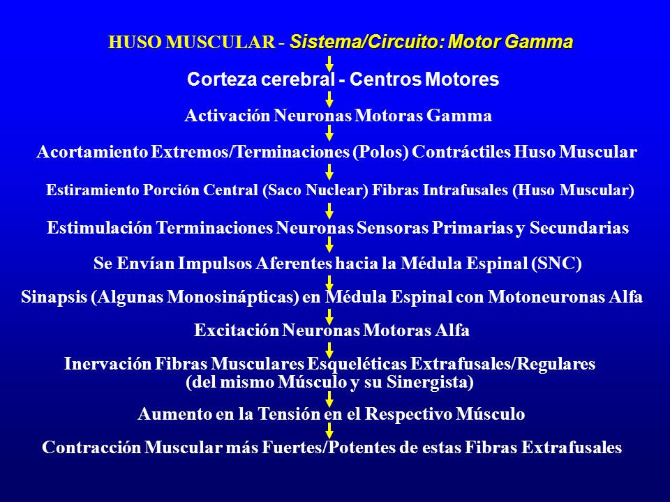 HUSO MUSCULAR - Sistema/Circuito: Motor Gamma