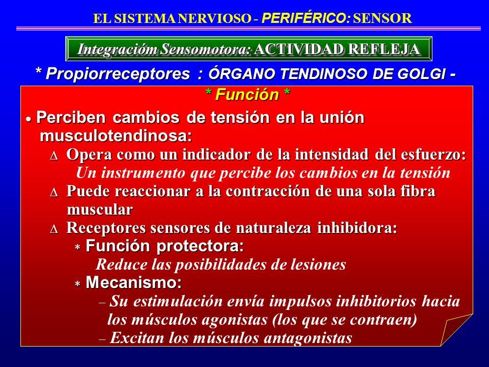 * Propiorreceptores : ÓRGANO TENDINOSO DE GOLGI -