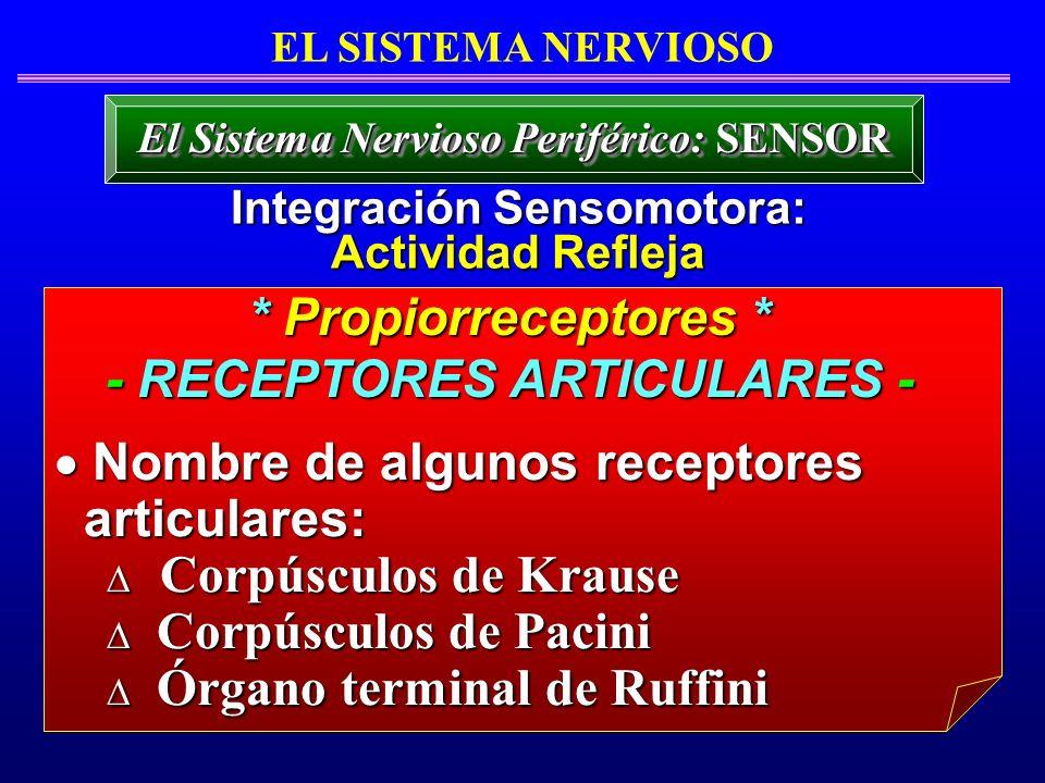 * Propiorreceptores * - RECEPTORES ARTICULARES -